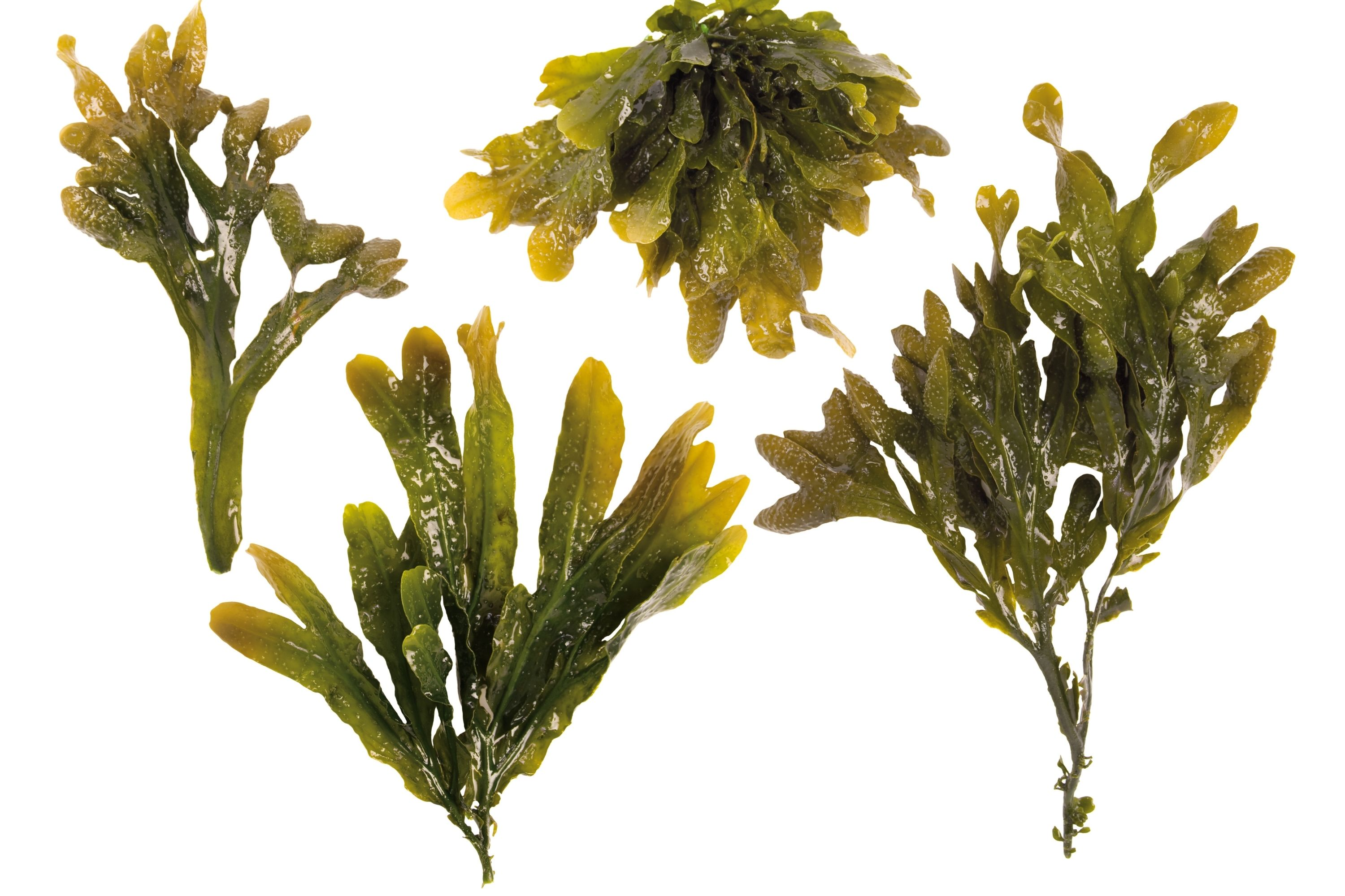 Get a Fat Free Body 8 Foods That Can Burn Fat Faster Than any Diets seaweed