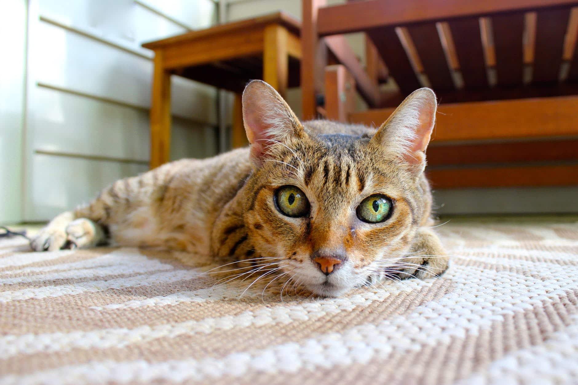 all about frieze carpets