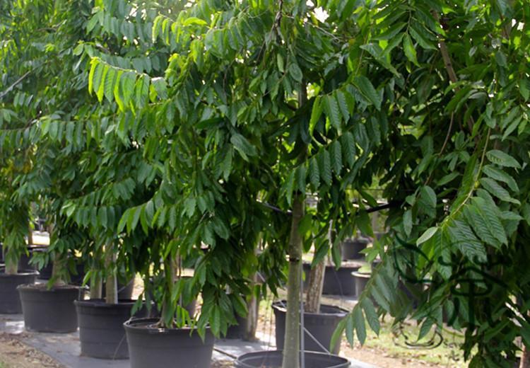 How Long Does Ylang-Ylang Tree Grow