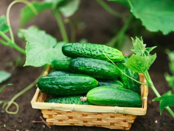 How to Store Pickling Cucumbers