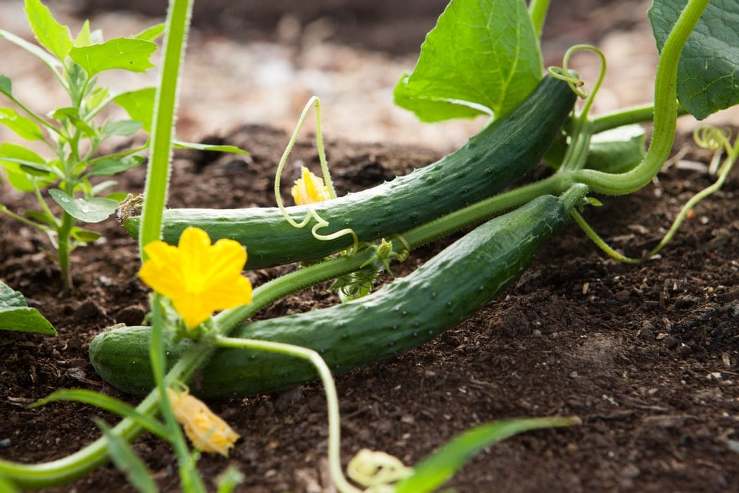 Should cucumbers be refrigerated