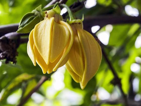 Best Ylang-Ylang Perfume