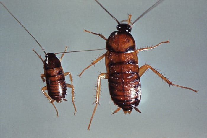 Cockroach Nymphs mistakes tick