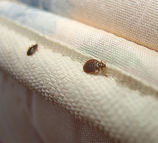 beetles that look like ticks