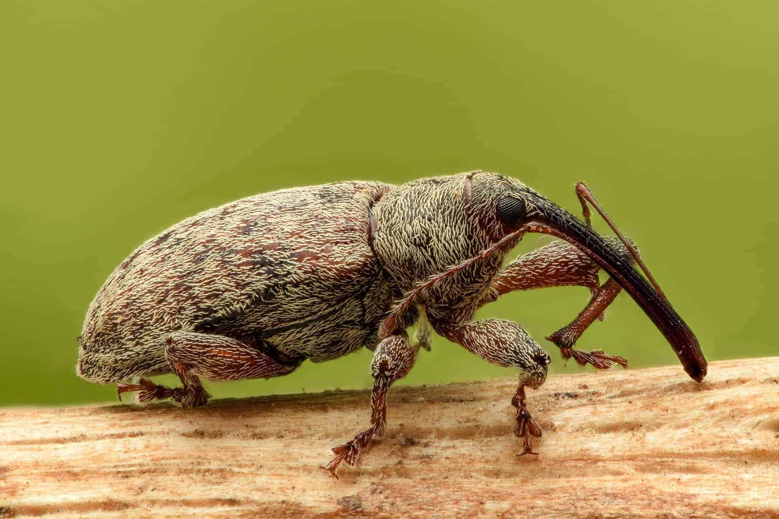 Common weevil bug