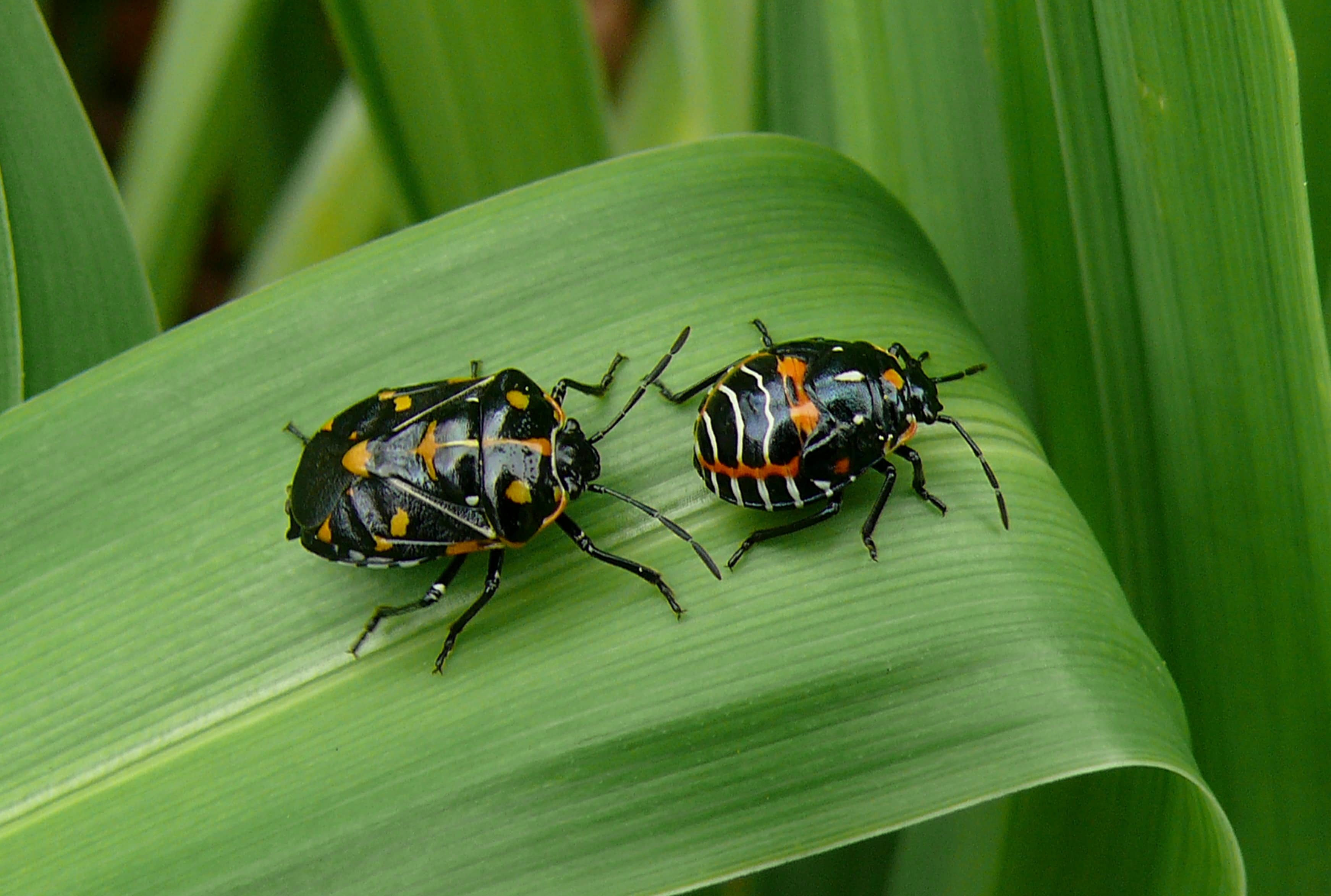 Harlequin cabbage bug