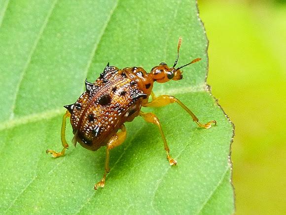 leaf rolling weevil like tick
