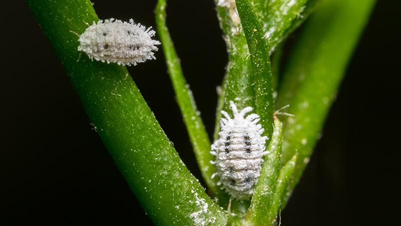 mealy bug look like tick