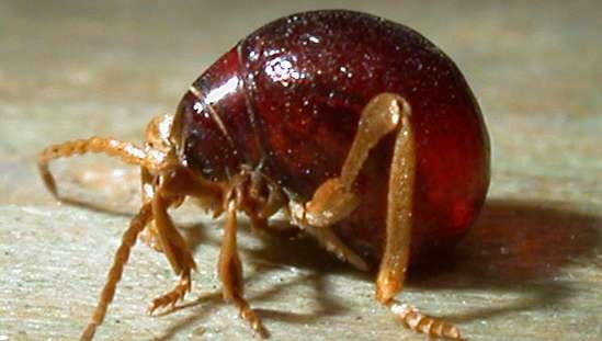 spider beetle look like tick