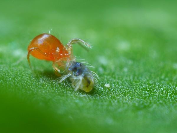spider mite and tick