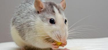 Do mice need water