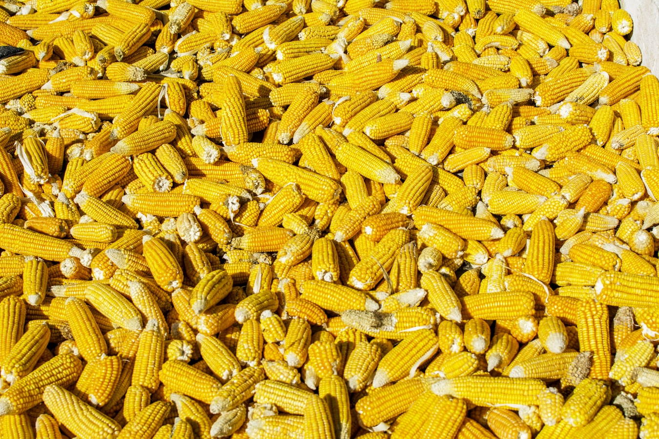 What to Do With Corn If I Have Too Much Of It