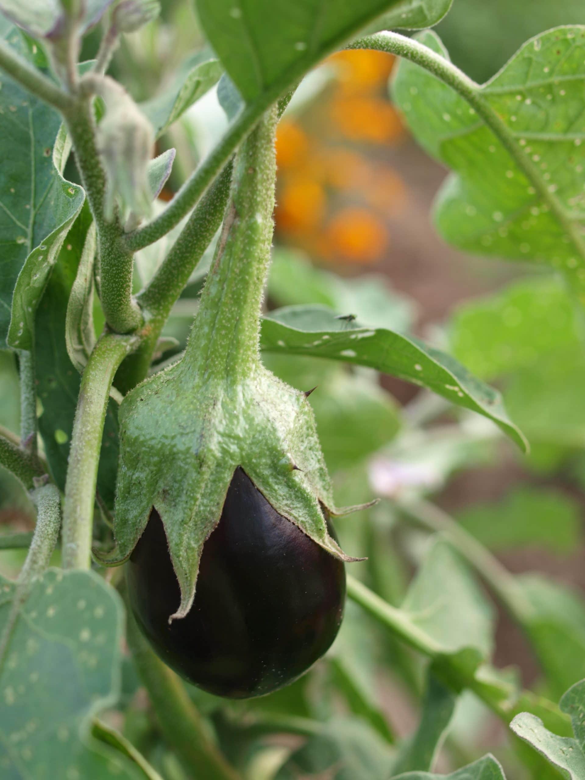 eggplant raw