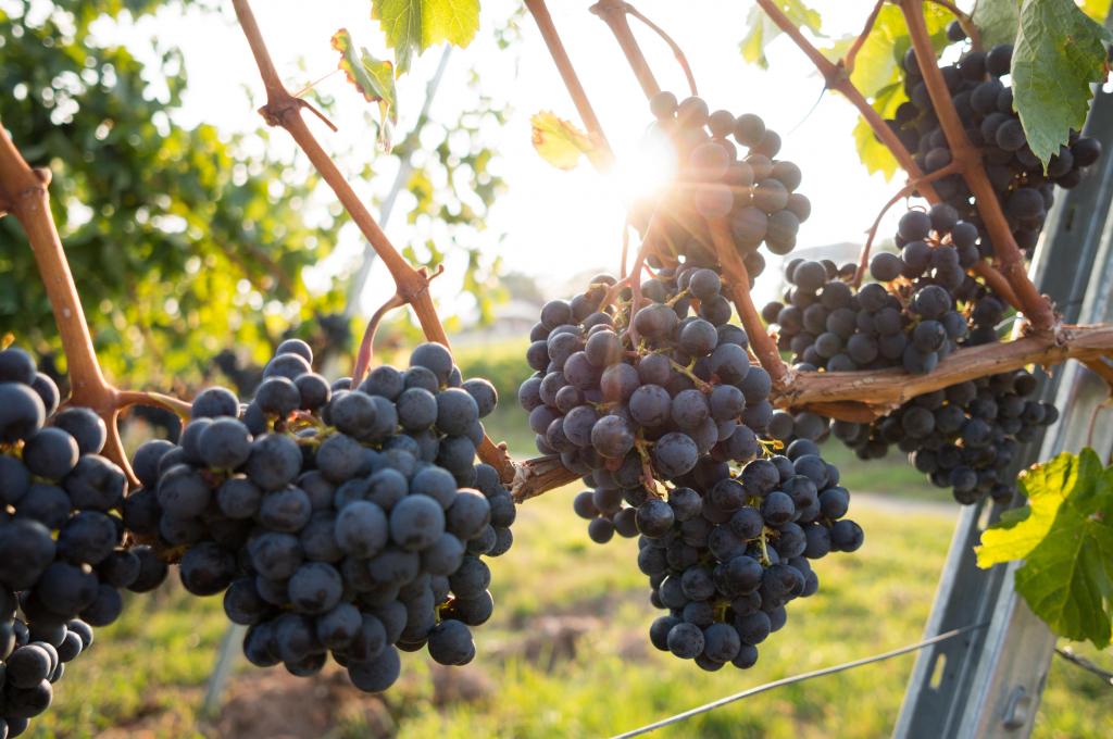 Grapes Keeping. FAQ