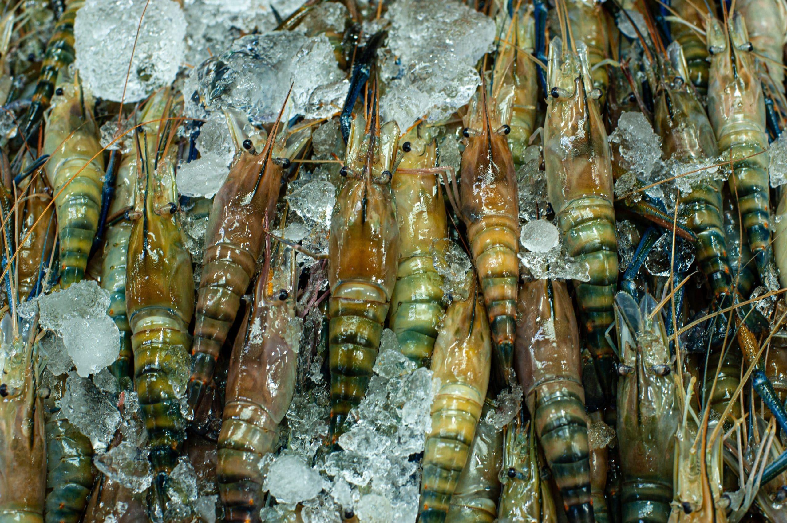 How to find freezer burn on shrimp