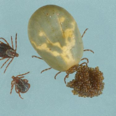 Adult tick, eggs, and nymphs