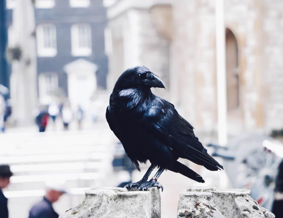 Do crows eat ticks