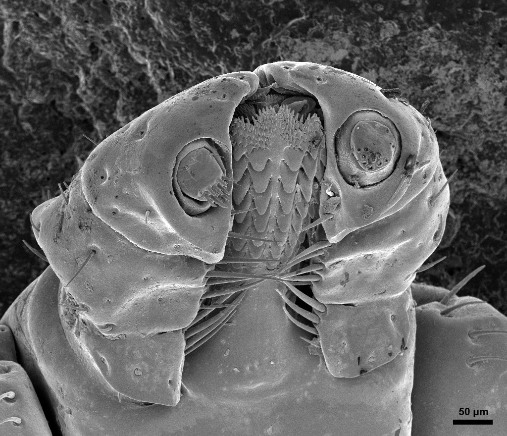 Head of a Deer Tick