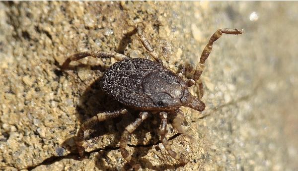 Hyalomma female tick