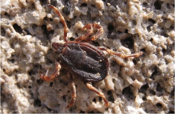 Hyalomma male tick