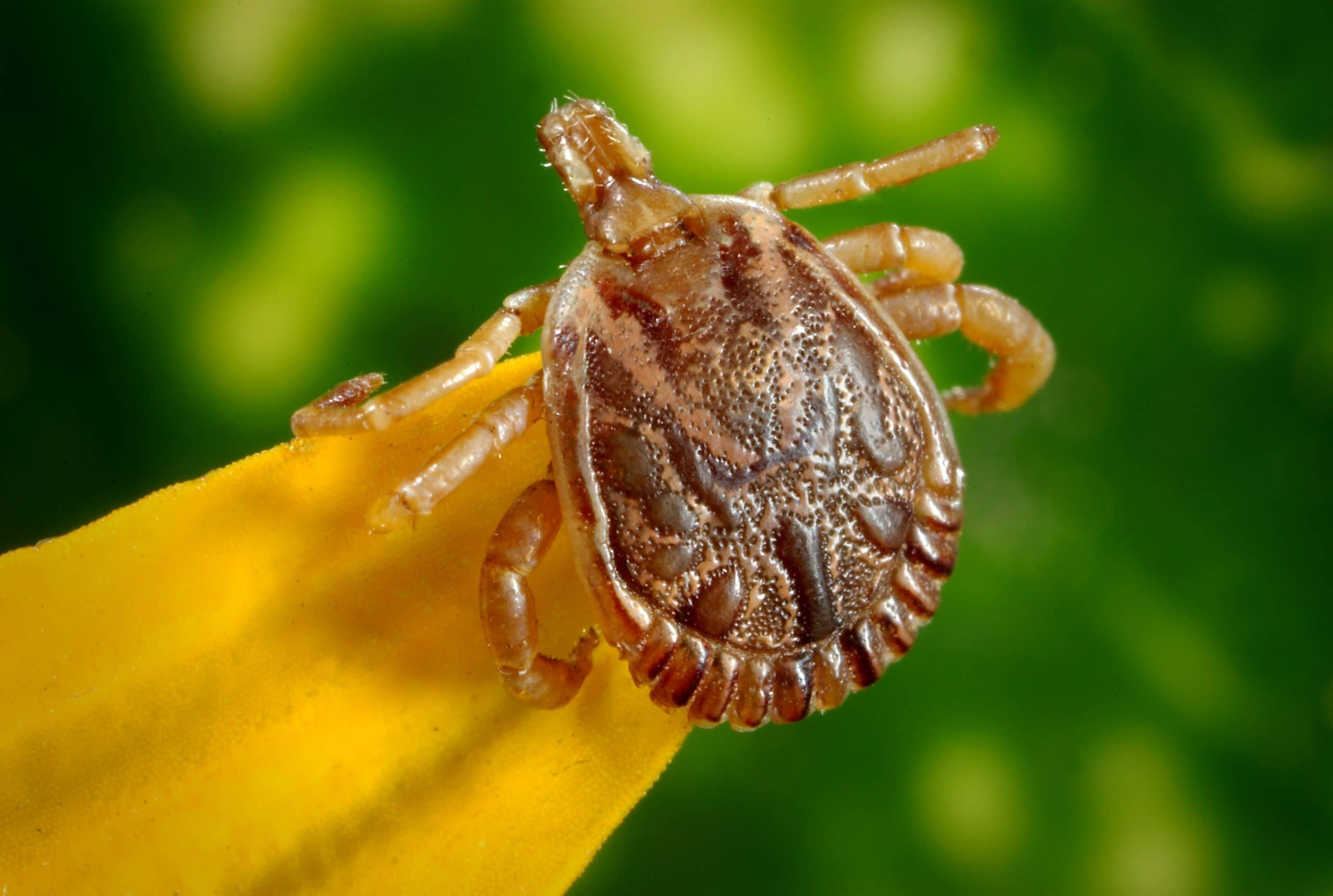 What Is a Wood Tick
