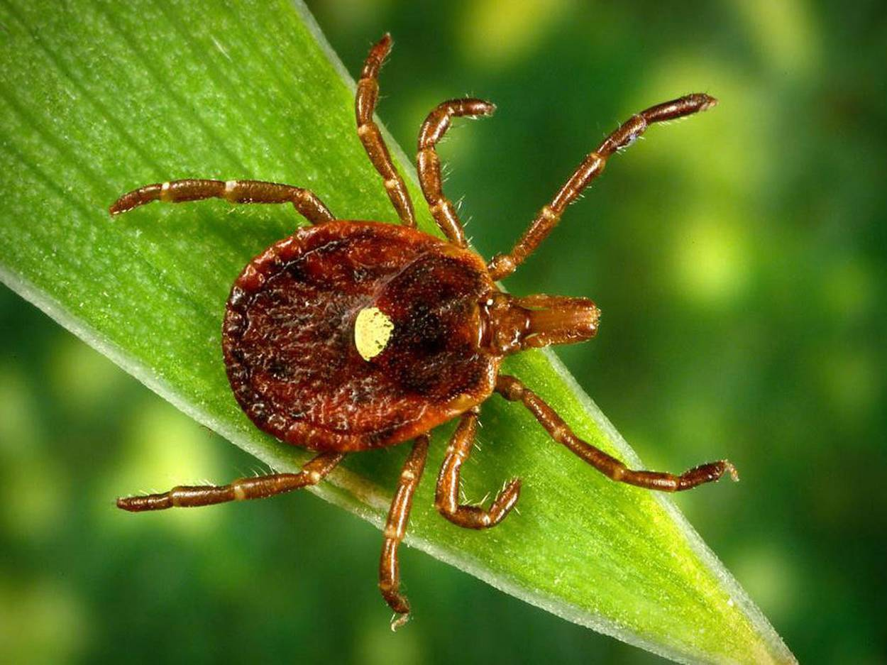 wood tick with yellow spot