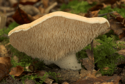 Hedgehog fungi