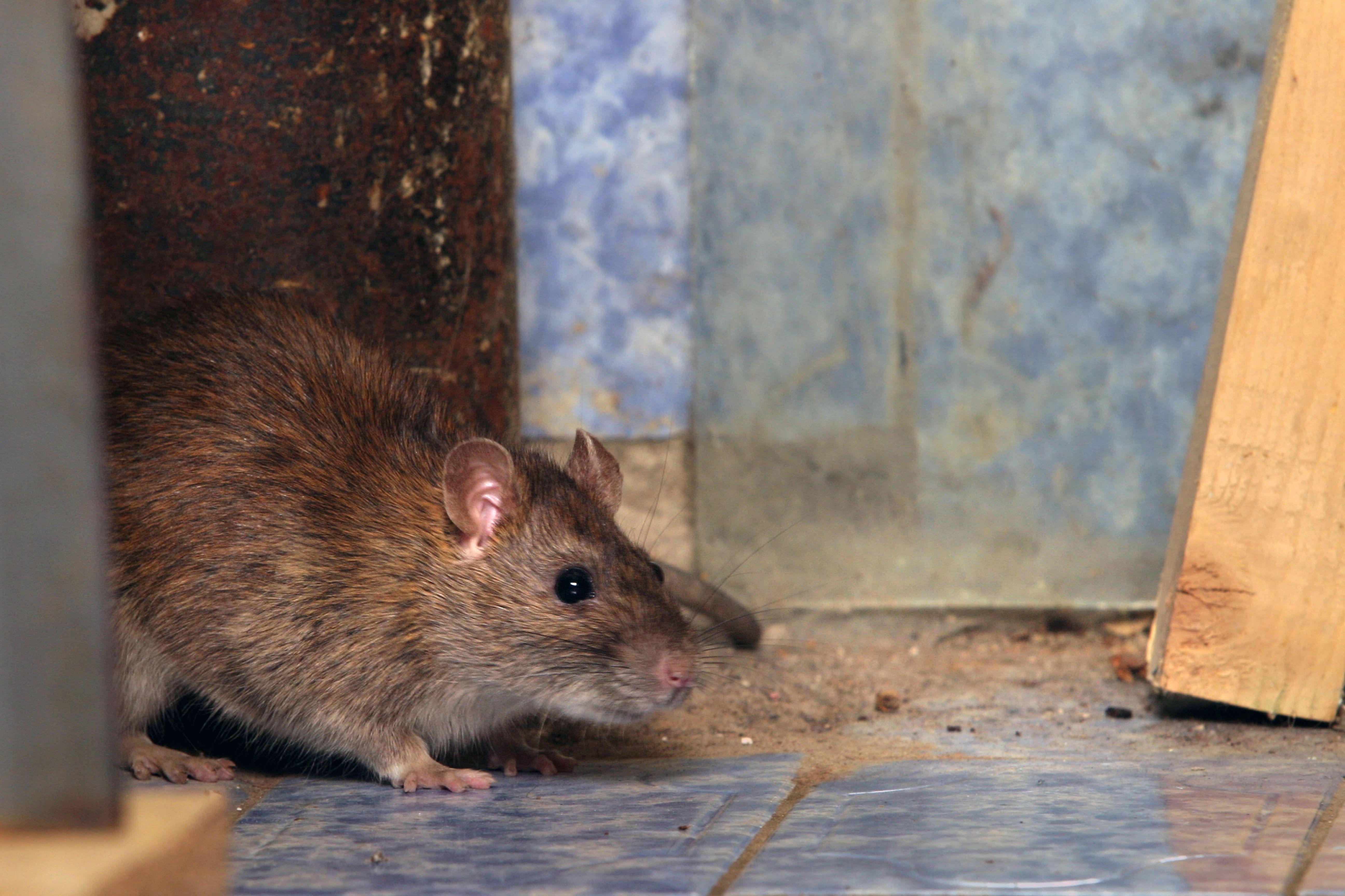 Place rat traps
