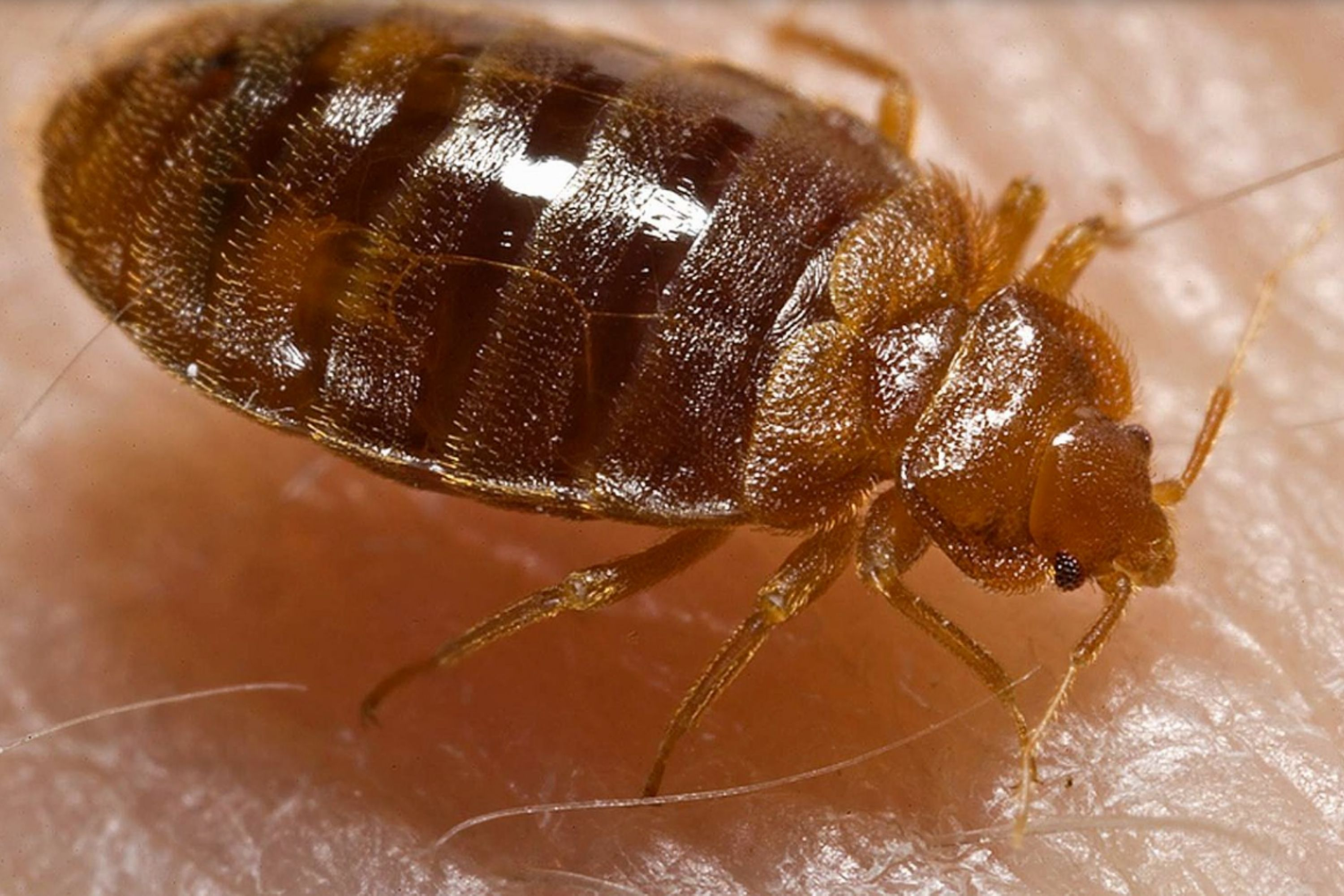 Small Black Bugs In the House bed bugs (2)