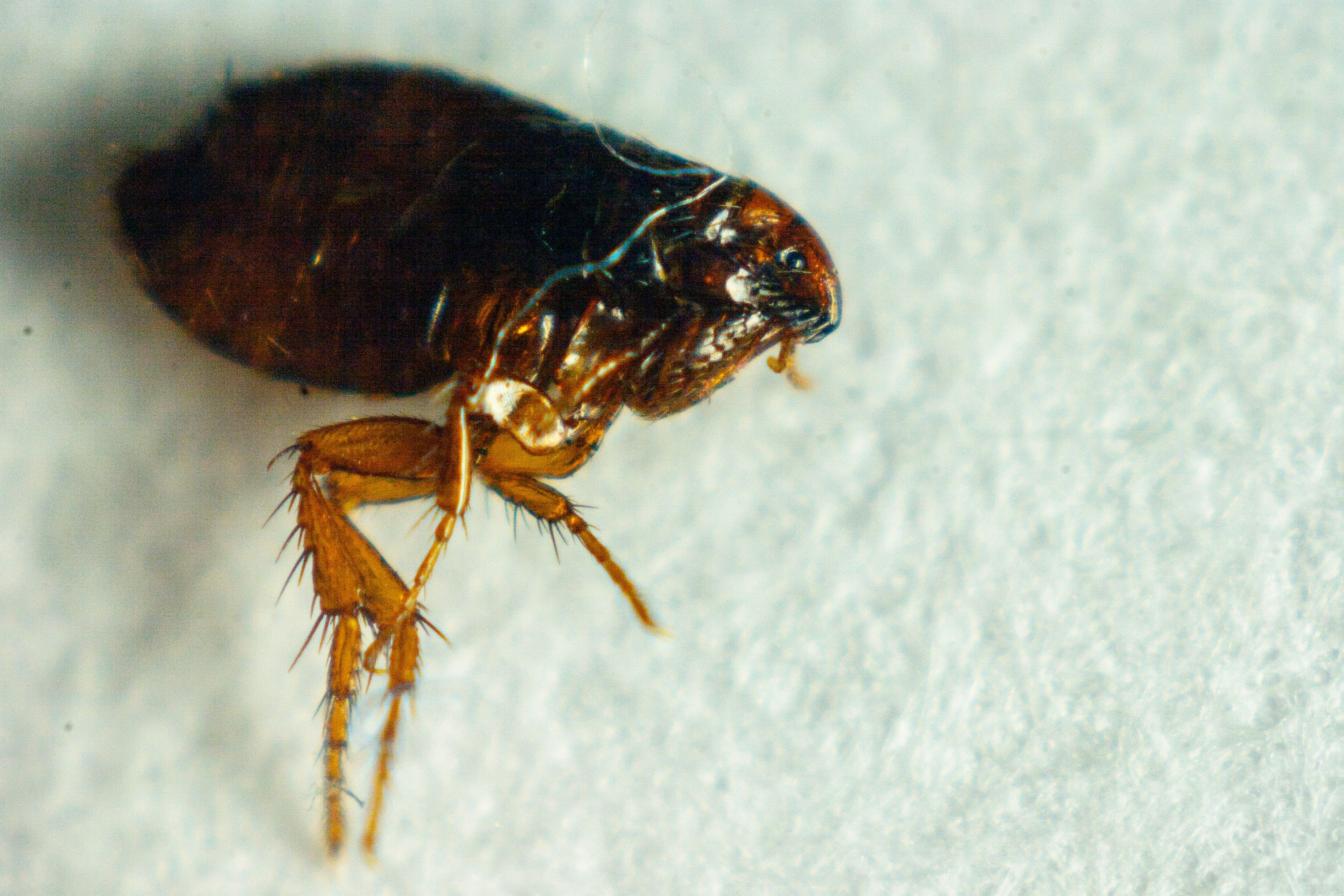 Small Black Bugs In the House fleas