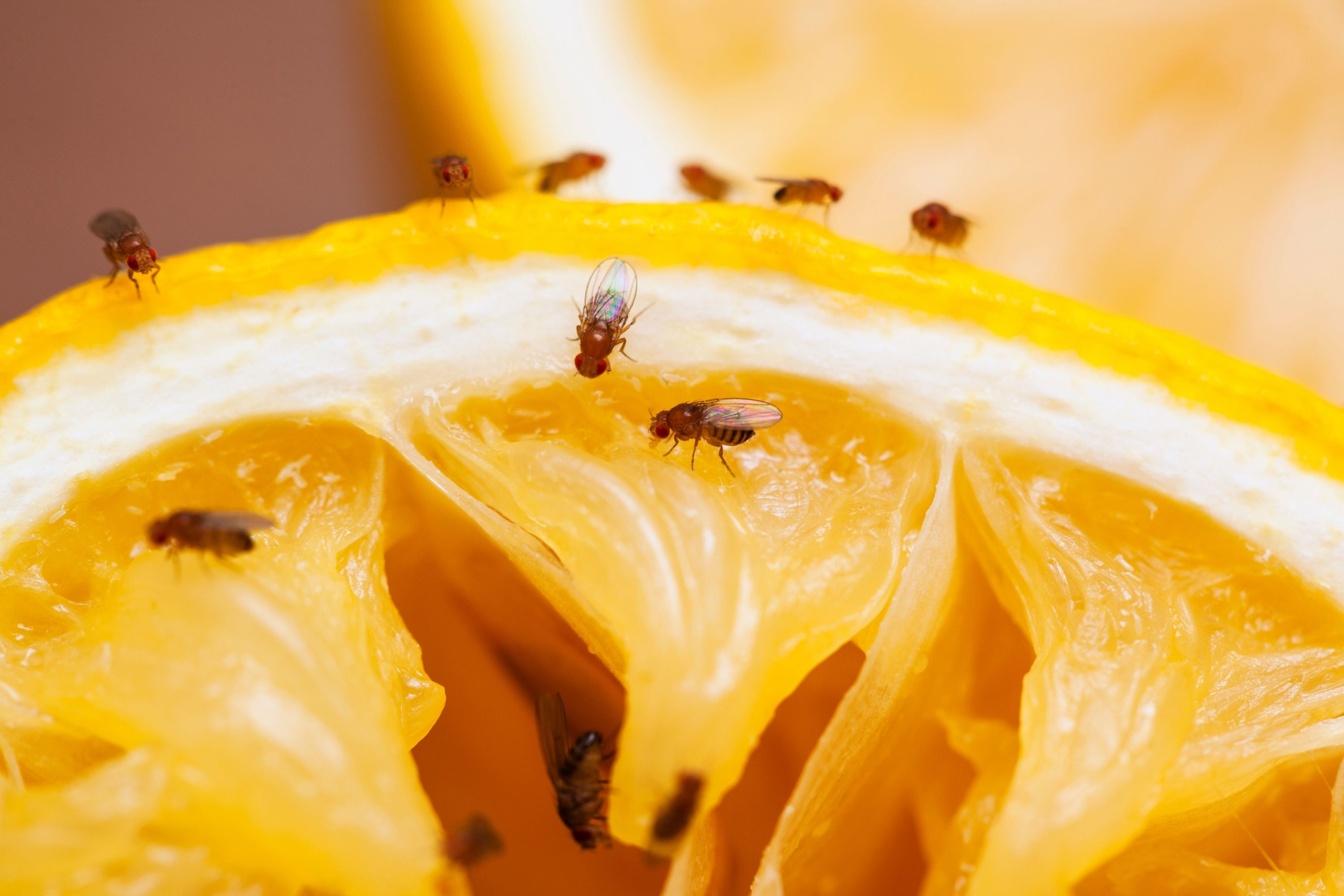 Small Black Bugs In the House fruit flies