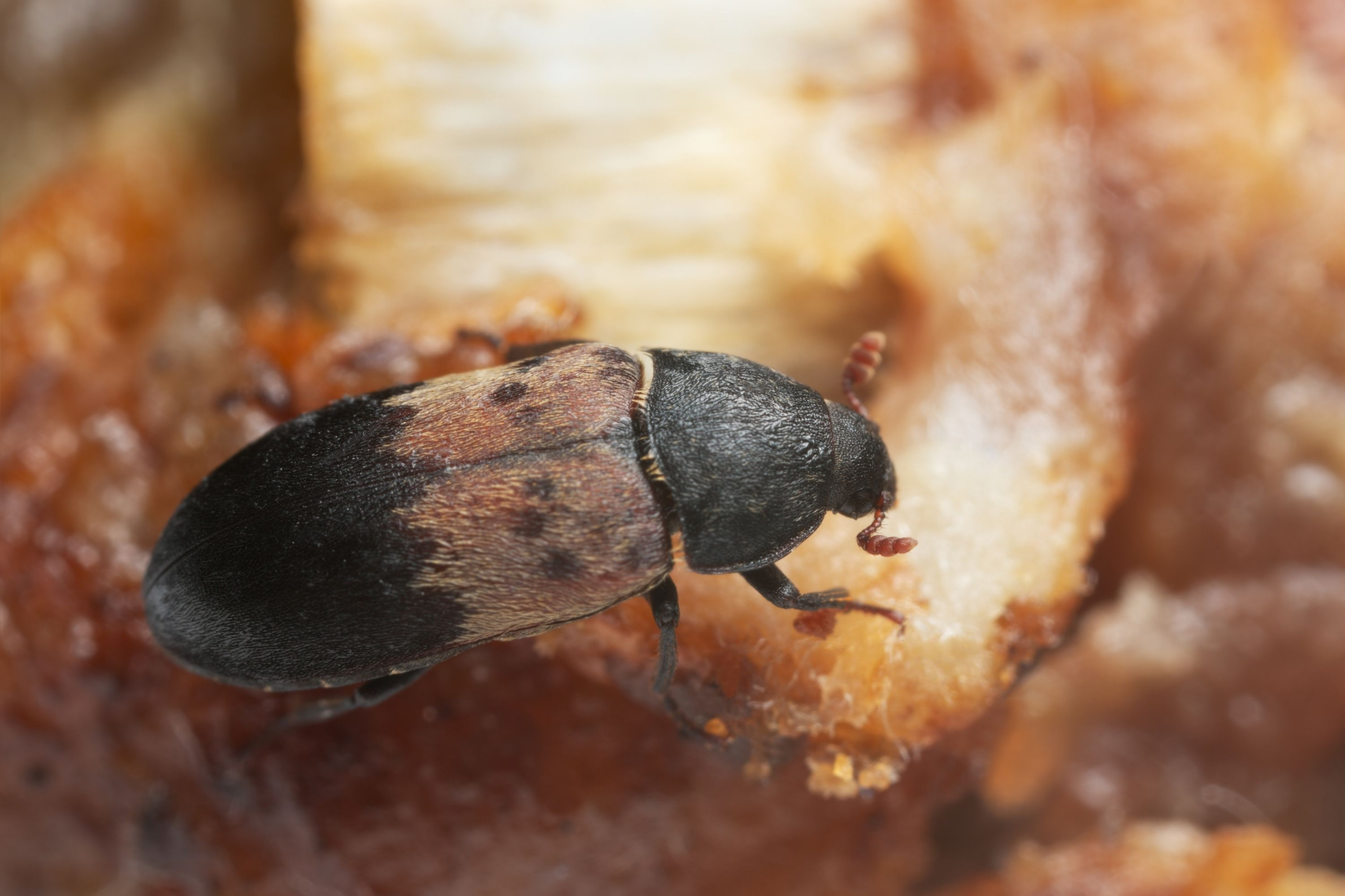 Small Black Bugs In the House larder beetle