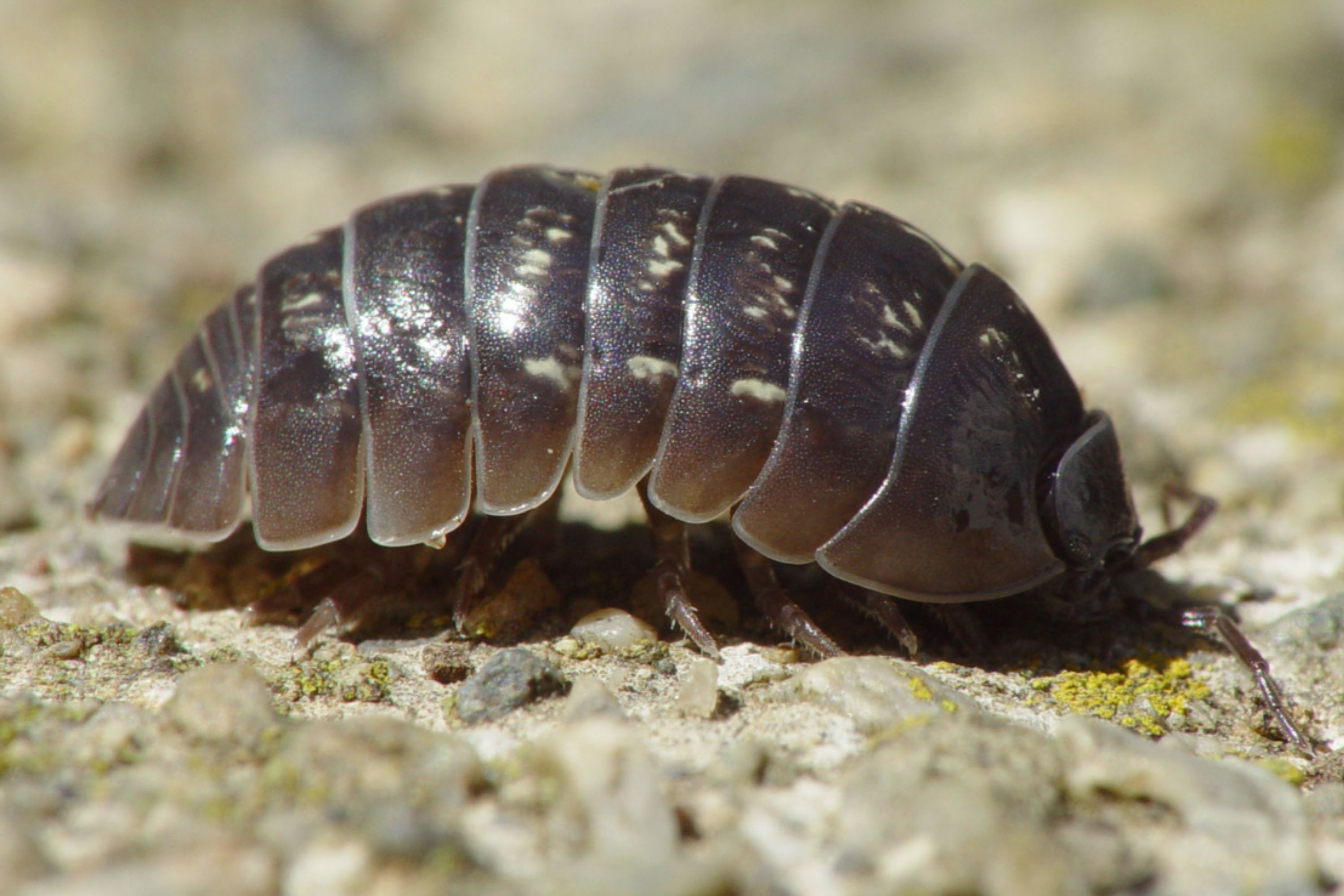 Small Black Bugs In the House pill bugs