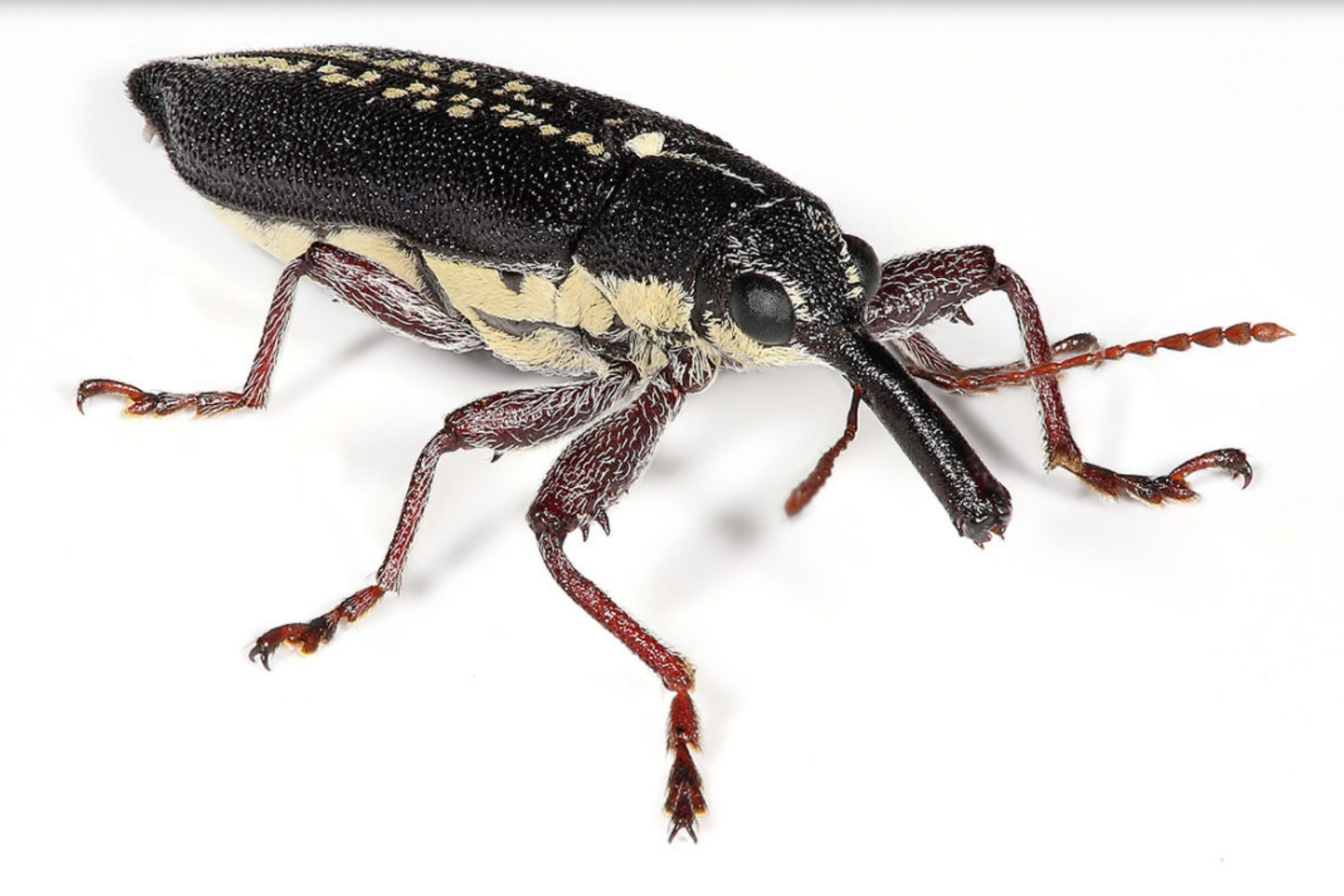 Small Black Bugs In the House weevils (2)